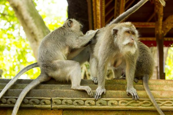 Protection of monkeys and their sanctity